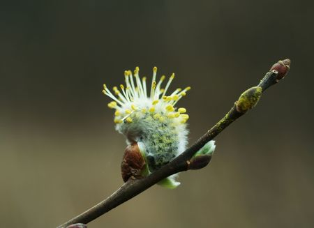 Blossoming pussy-willow photo