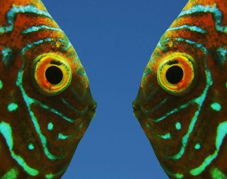 goldenfish: Two orange fishes Stock Photo
