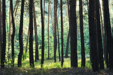 woodscape: Green forest