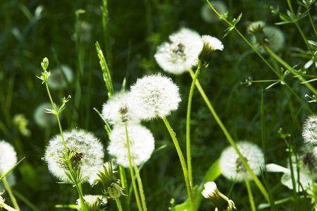Dandelions on the green grassland photo
