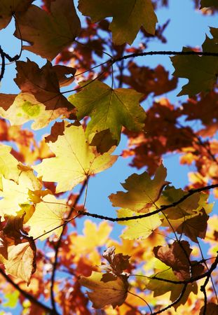 woodscape: Colorful  autumn leaves