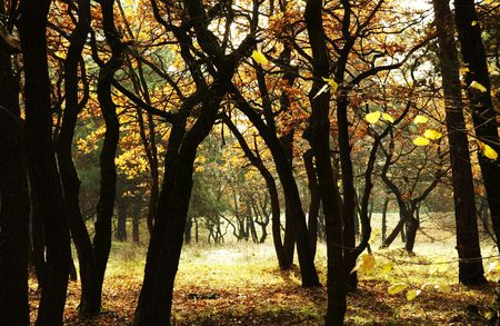 woodscape: Yellow autumn forest