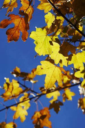 woodscape: Yellow autumn  leaves