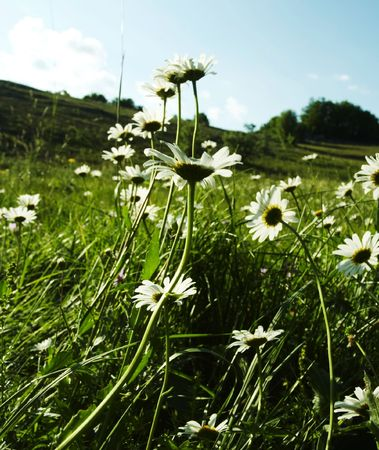 Camomiles meadow in mountain photo