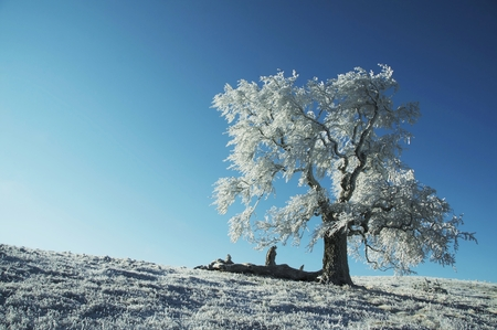 Alone frozen tree on the blue background Stock Photo - 1471248