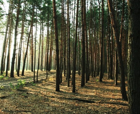 woodscape: Pine forest Stock Photo