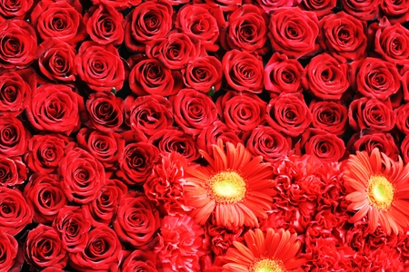 Red rose background photo