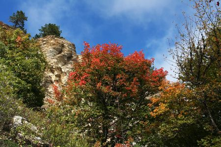 woodscape: Maples trees on rock in the autumn season