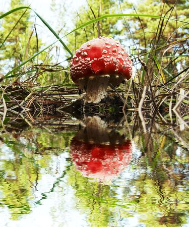 woodscape: Red mushroom in forest