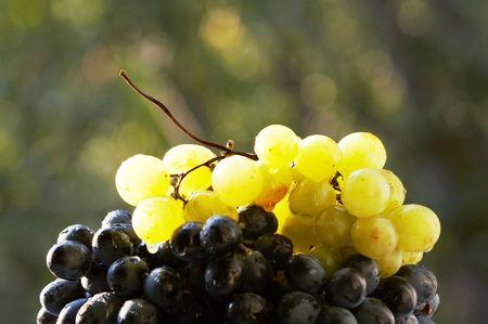 sauternes: Grape close-up