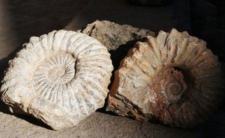 Fossilized ammonite shot in High Atlas (Marocco) photo