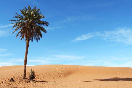 desierto del sahara: Palmera en el desierto de Sahara