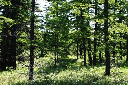woodscape: Tamarack forest