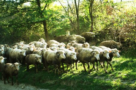 sheep warning: Sheeps on the trail