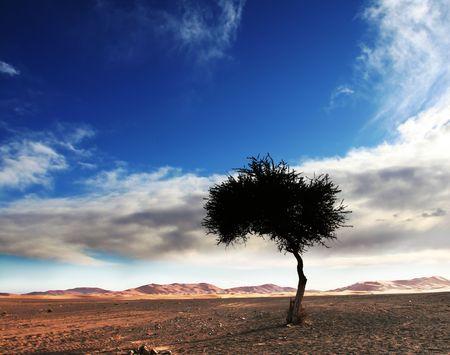 desierto del sahara: Alone �rbol en el desierto del S�hara