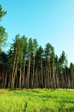 woodscape: Pines forest