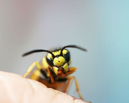 constricted: Wasp