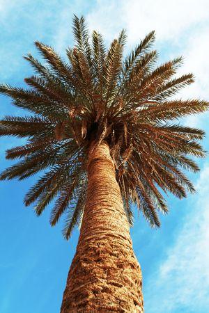 palmtree: Palm-tree
