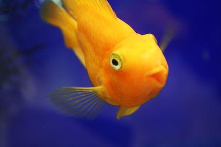 Goldfish Stock Photo - 3594843