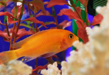 Goldfish Stock Photo - 3662240