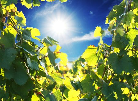 crimea: Vineyard in the Crimea mountain