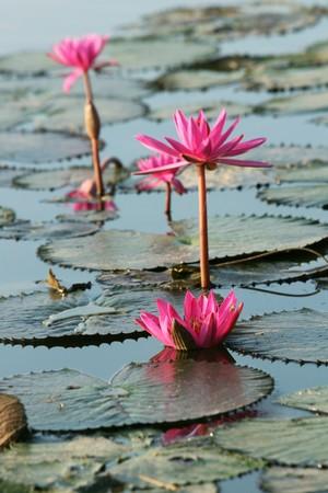 florets: Lotus