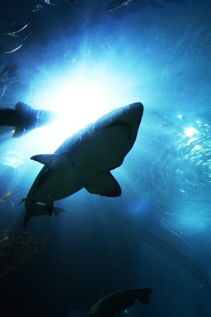 Shark Stock Photo - 4226956