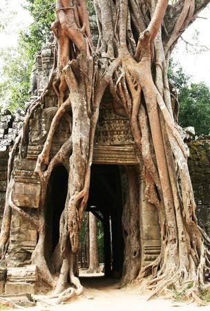 Tree swallowing ancient ruins of Angkor Wat Cambodia photo