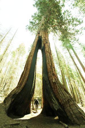 yosemite: Sequoias in Yosemite National Park