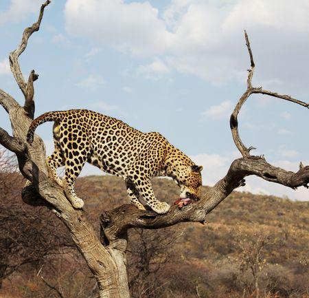 leopard Stock Photo - 5658770