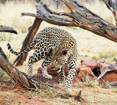 leopard Stock Photo - 5658857