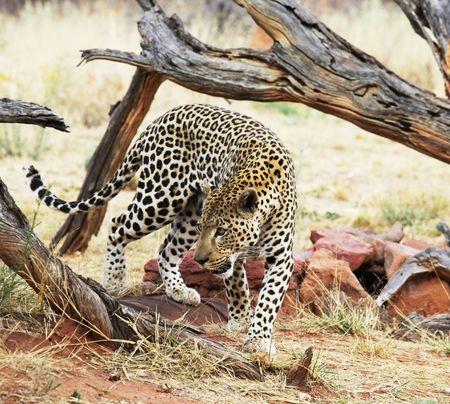 okonjima: leopard