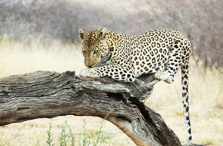 leopard Stock Photo - 5658873