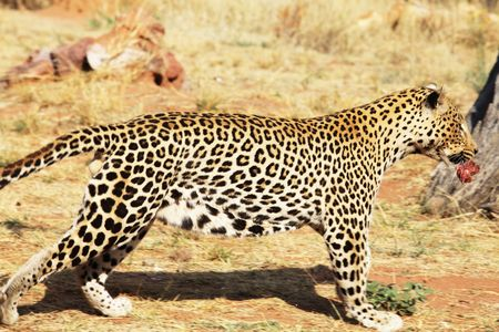 leopard Stock Photo - 5700671