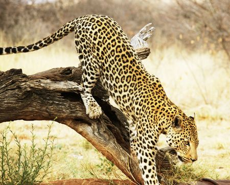 leopard Stock Photo - 5722525
