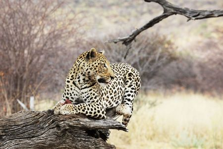 leopard Stock Photo - 5722562