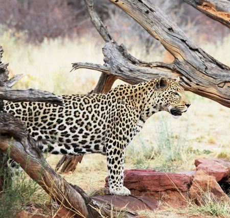 leopard Stock Photo - 5722557