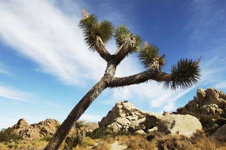 Joshua tree in  desert Stock Photo - 5982343