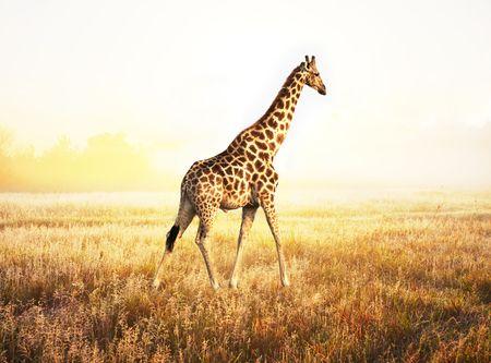 giraffe Stock Photo - 6020288