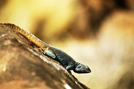 africa chameleon: gecko