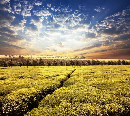Tea plantation Stock Photo - 6416276