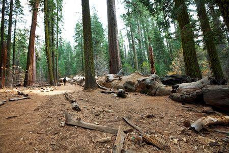 mariposa: Mariposa Grove, Yosemite Stock Photo