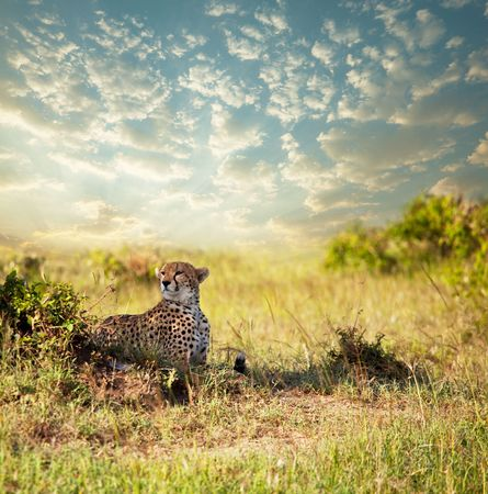 africa safari: cheetah Stock Photo