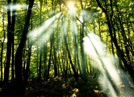 woodland scenery: Sunny beams in forest
