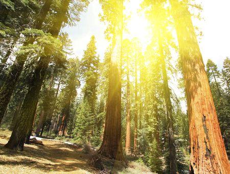 seqoya forest photo
