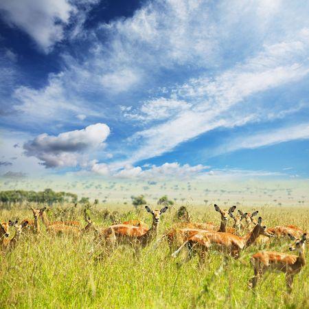 impala: antelope impala