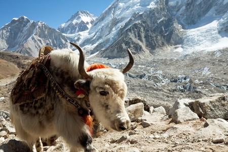 yak: yak in Himalaya