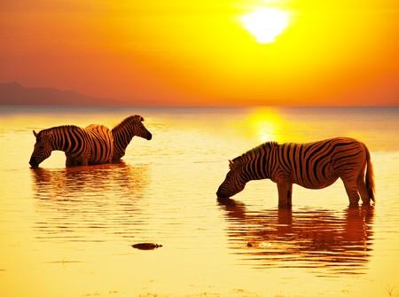 cebras a orillas de Lago  Foto de archivo