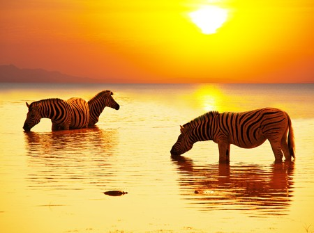 zebras on lake