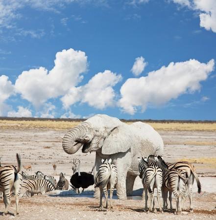 waterhole: Elefante y cebras en la charca